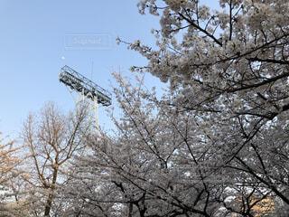 空,桜,屋外,月