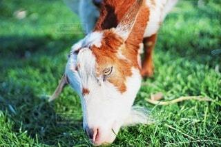 春,動物,屋外,緑,白,カラフル,茶色,牧草,牧場,景色,草,美味しそう,日本,ヤギ,山羊,食事中,餌,耳,ヒゲ