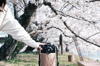 風景,花,カメラ,桜,屋外,桜並木,樹木,人物,人,ポートレート,フィルムカメラ
