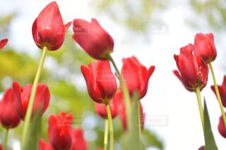 花,植物,赤,花びら,チューリップ,薔薇,草木