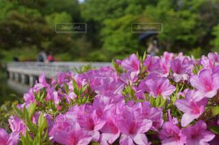 花,屋外,ピンク,紫,樹木,ツツジ,草木,フローラ