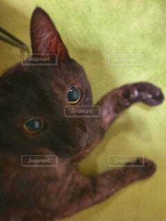 猫,動物,屋内,室内,ペット,くつろぐ,黒猫,ブラックスモーク,ホットカーペット