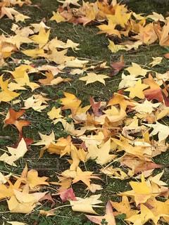 秋,葉,カエデ,カエデの葉