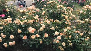 花,屋外,バラ,薔薇