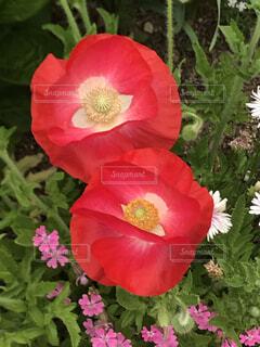 花,赤,花びら,ポピー,草木,ブルーム,フローラ