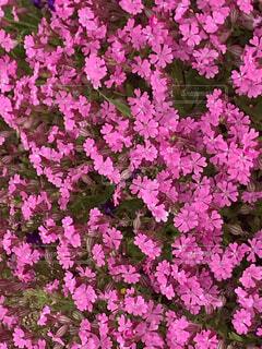 花,ピンク,緑,紫,草木,マンテマ,フローラ