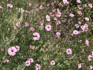 花,ピンク,花びら,草木,マンテマ,フローラ