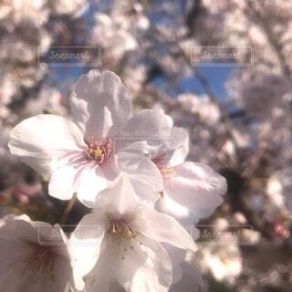花,春,桜,屋外,ピンク,優しい,草木,さくら,ブルーム,柔らかい,ブロッサム