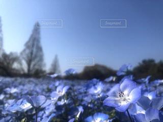 自然,空,花,春,屋外,青空,青,ネモフィラ,草木