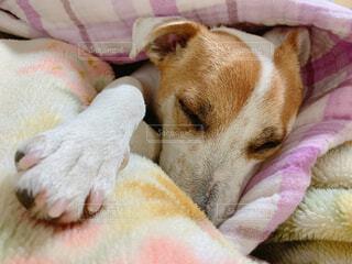 犬,動物,屋内,かわいい,ペット,睡眠,ジャックラッセル,布団大好き