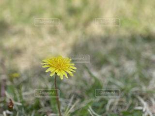 花,屋外,植物,黄色,草,たんぽぽ,草木,フローラ,広葉