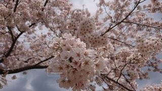 花,桜,屋外,樹木,桜の花,さくら