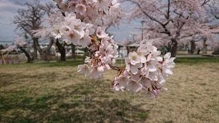 花,春,桜,屋外,景色,桜の花,さくら