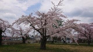 空,花,春,屋外,草,樹木,桜の花,さくら