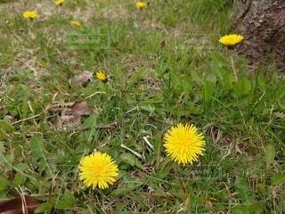 花,屋外,植物,黄色,たんぽぽ,タンポポ