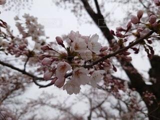 花,春,屋外,ピンク,樹木,桜の花,さくら,ブルーム