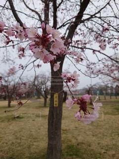風景,花,春,ピンク,赤,草木,さくら