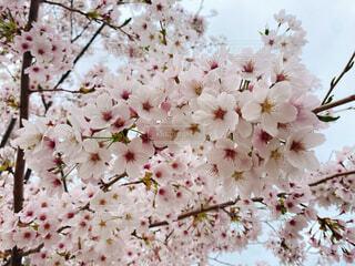 花,春,桜,屋外,ピンク,白,散歩,草木,4月,さくら,ブロッサム