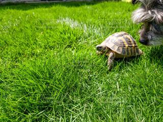 犬,動物,芝生,庭,屋外,景色,草,カメ,ウミガメ,爬虫類,亀
