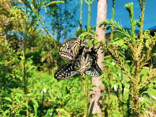 春,夏,森林,屋外,仲良し,樹木,新緑,夏休み,恋愛,恋,蝶,アゲハチョウ,草木,針葉樹,蛾や蝶