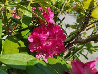 花,屋外,植物,赤,樹木,草木,ブルーム,フローラ,食仏,西洋シャクナゲ,セイヨウシャクナゲ