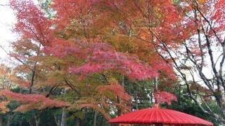 秋,紅葉,傘,屋外,赤,葉,樹木,赤い,カエデ