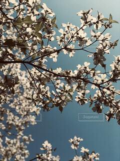 空,春,屋外,木漏れ日,ハナミズキ,草木,ブルーム