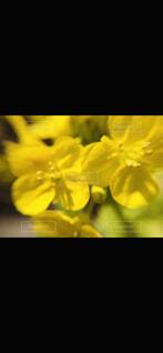花,春,黄色,菜の花,草木,ブルーム,フローラ