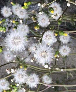 花,儚さ,草木,フワフワ,綿雲