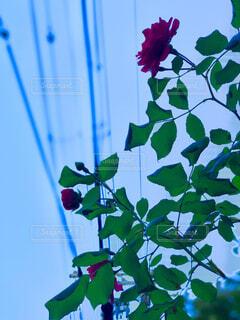 自然,花,フラワー,一輪,バラ,葉,草木