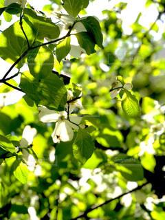 花,屋外,緑,葉,樹木,ハナミズキ,ヒカリ,草木