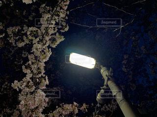 桜,樹木,人物,街灯,ブロッサム