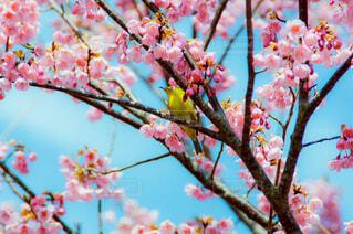 花,春,樹木,メジロ,カラー,草木,ブロッサム