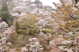 自然,花,桜,屋外,樹木,歩道,吉野山