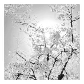 自然,花,春,桜,太陽,モノクロ,光,樹木,桜の花,テキスト,さくら,ブロッサム