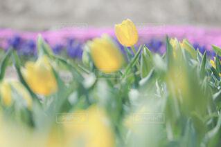 公園,花,春,チューリップ