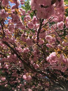 花,春,桜,ピンク,樹木,草木,ブルーム,ブロッサム