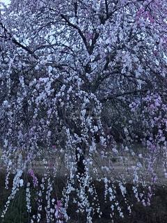 花,春,桜,ピンク,樹木,草木