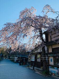 空,花,春,屋外,樹木,通り,桜の花,さくら,ブロッサム