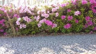 花,ピンク,白,生命,草木,ガーデン,活き活き