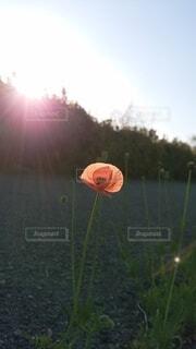 自然,花,夕日,一輪,生命,陽のあたる場所