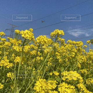 空,花,屋外,黄色,菜の花,ミツバチ,草木,菜種,マスタード