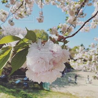 公園,花,春,屋外,ピンク,樹木,野球,八重桜,休日,さくら,少年野球,ブルーム,ブロッサム