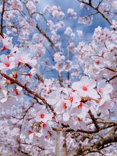 花,春,桜,屋外,樹木,草木,桜の花,さくら,ブロッサム