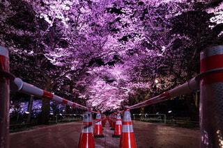 自然,風景,春,桜,夜,屋外,ピンク,花見,夜桜,樹木,ライトアップ,高田公園