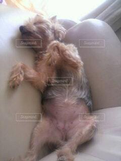 犬,動物,屋内,寝る,可愛い,爆睡,大胆,大の字