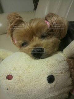 犬,動物,屋内,かわいい,ぬいぐるみ,寝る,壁,子犬,ウトウト