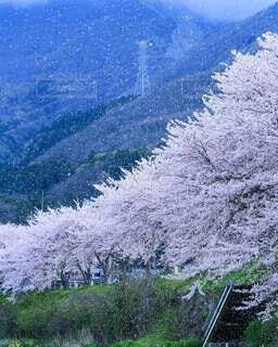 自然,風景,屋外,山,樹木,桜 桜吹雪 桜並木 お花見 花畑 花壇 春 日本
