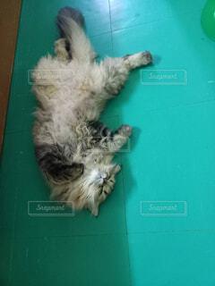 猫,動物,屋内,緑,寝る,ヘソ天