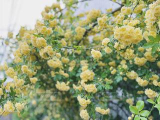 雨上がりの黄色い花の写真・画像素材[4350447]